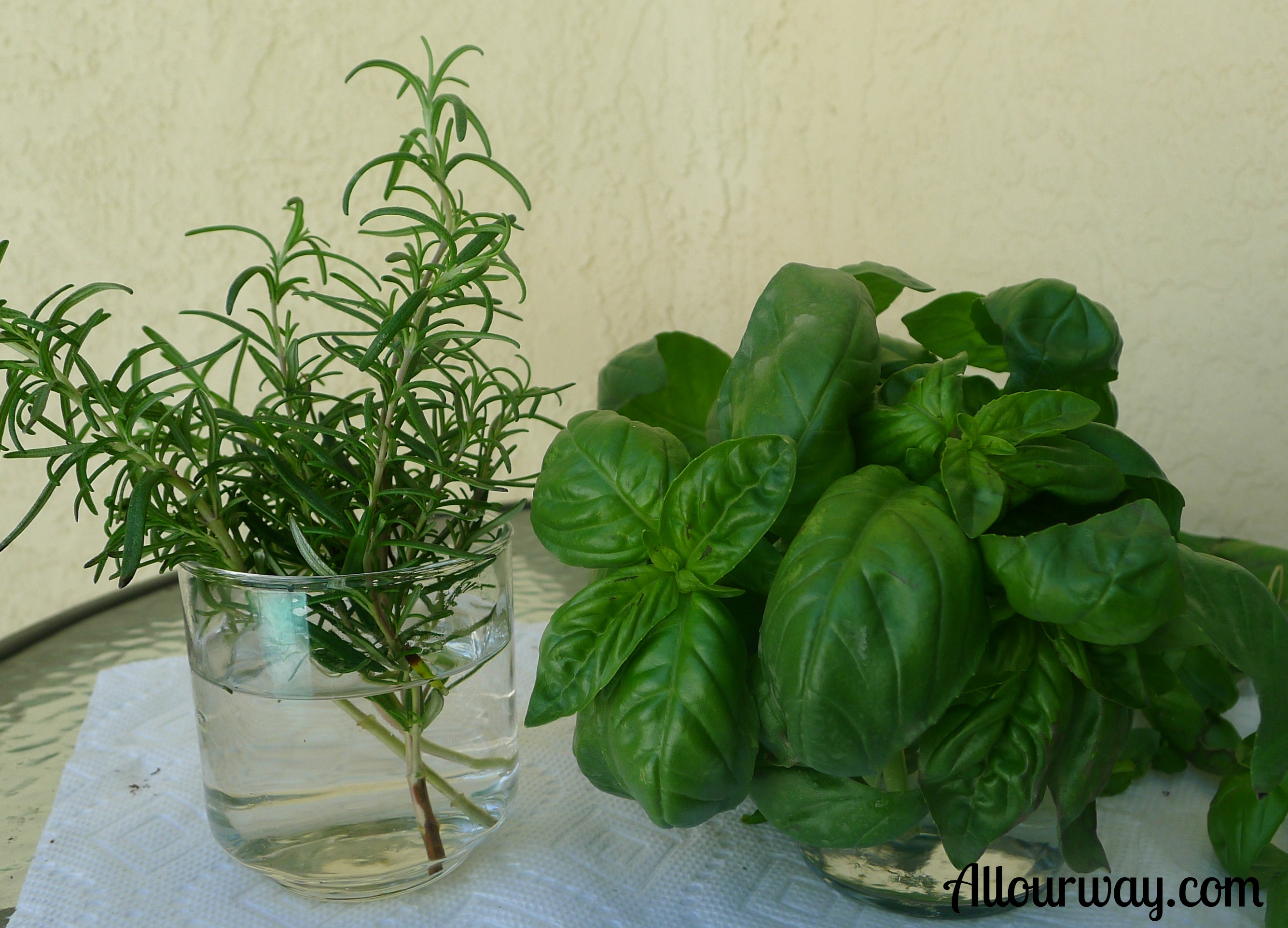 Rosemary is from Venus; Basil is from Mars — Their Propagation