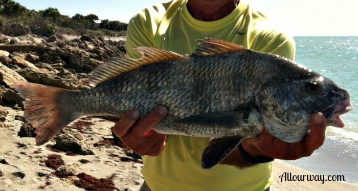 Black Drum, fish, caspersen beach