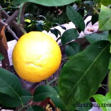 lemon, plant, fresh