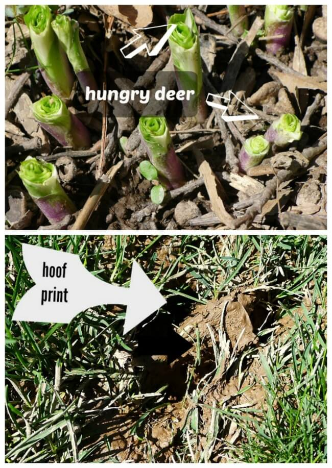 Collage of hosta plant eaten to the ground and deer hoof prints.