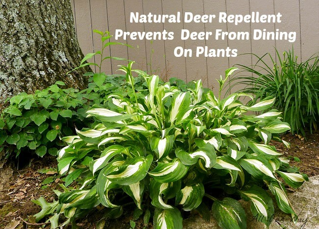 Deer repellent prevents deer from eating hosta leaves @ allourway.com