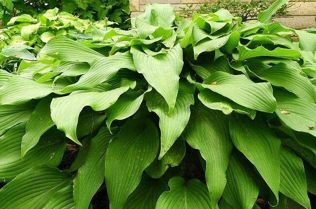 Red October hosta is full and undamaged after natural deer repellent @allourway.com