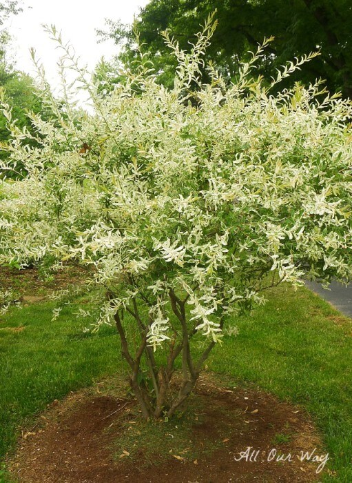 Willow is full and colorful without deer damage after natural deer repellent@allourway.com