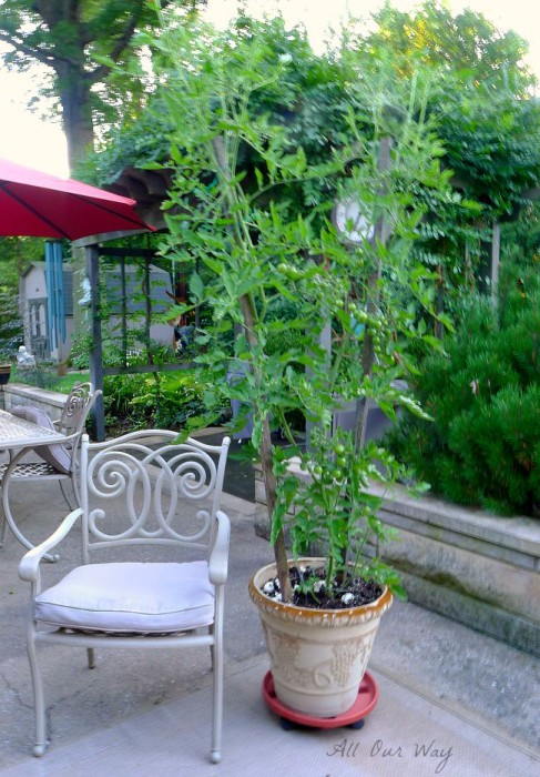 Potted Cherry Tomato Plant growing like a bean stalk @allourway.com