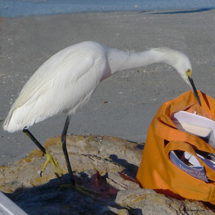 Egret on Caspersen Beach, Venice Florida looking for free food @allourway.com