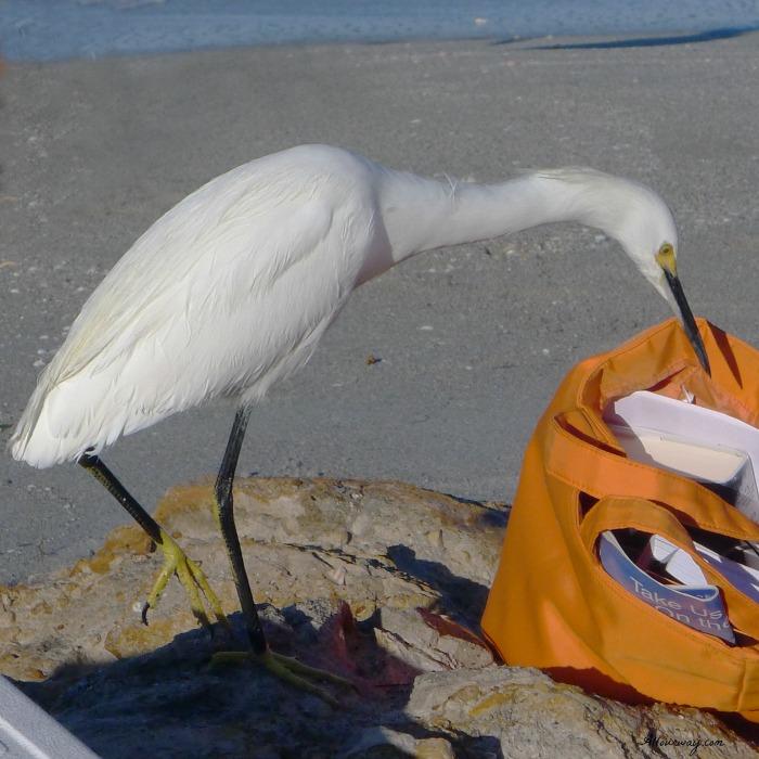Egret on Caspersen Beach, Venice Florida looking for free food @allourway.com