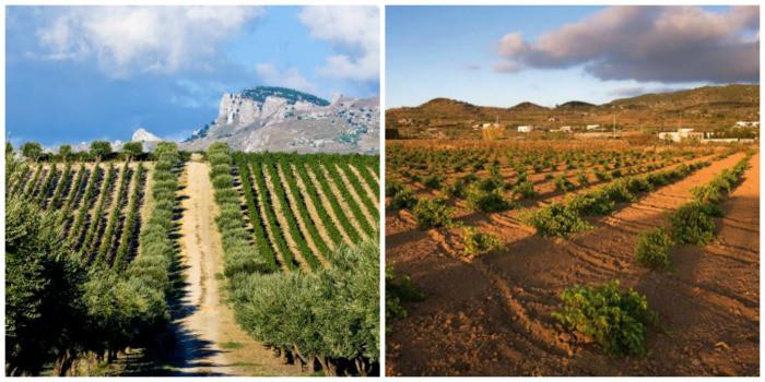 Grape Vineyards in Marsala, Sicily
