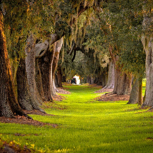 Beautiful Spanish Moss Covered Live Oaks, will they know how to survive a hurricane. @allourway.com