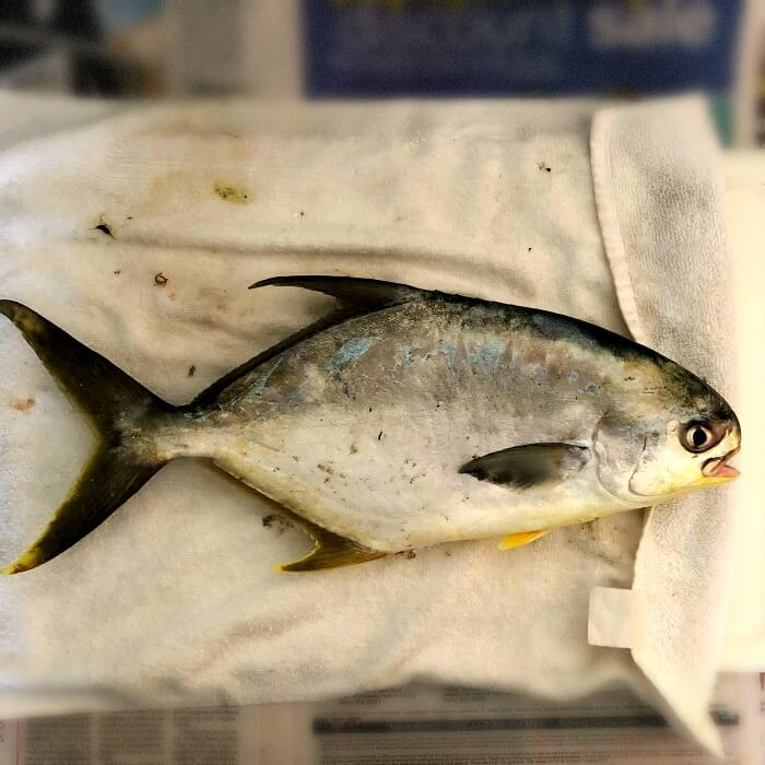 Florida pompano on white towel ready to be cleaned and fillet.